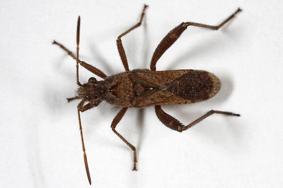 unknown Hemipteran - Tollius curtulus