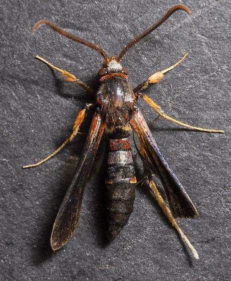 Podosesia syringae - male