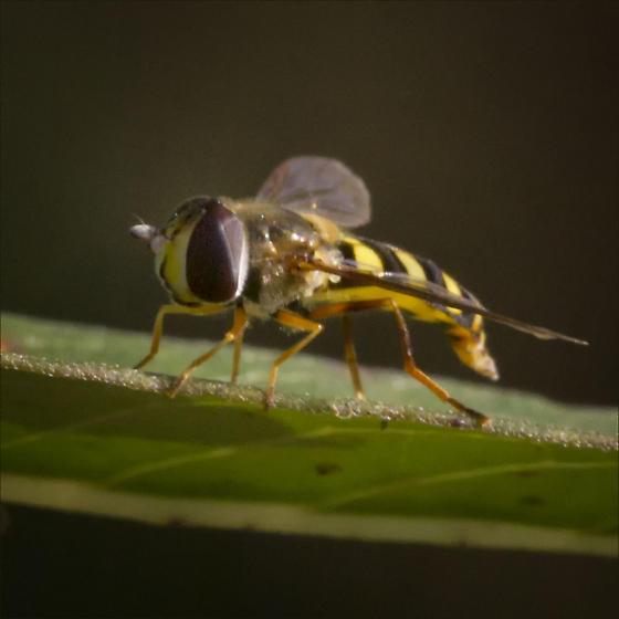 Syrphidae, Q genus, ID please - Eupeodes