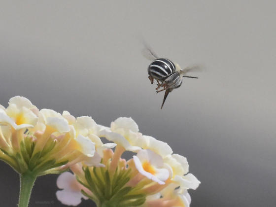 Long-tongued (Anthophora) Bee  - Anthophora californica - male
