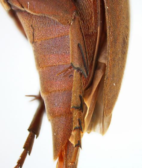Glipodes sericans (Melsheimer) - Glipodes sericans