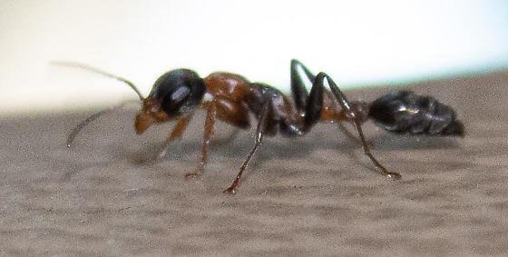 Pseudomyrmex gracilis - female