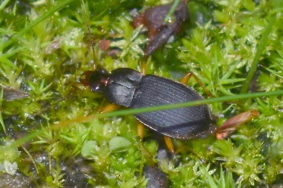 Ground Beetle - Chlaenius emarginatus? - Chlaenius impunctifrons