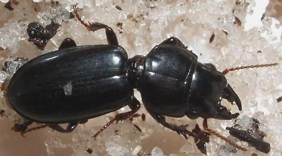 Beach beetle - Scarites marinus