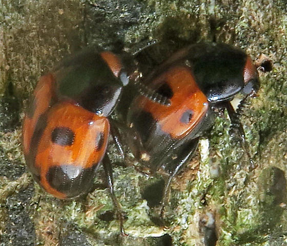 Diaperis maculata - male - female