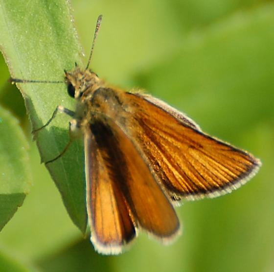 unknown skipper - Thymelicus lineola