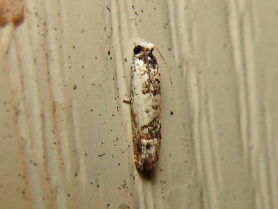 Pre-tort Moth - Eucosma ornatula