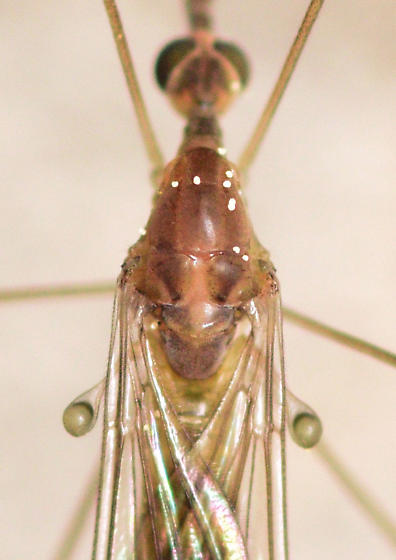 limoniid crane fly - Limonia communis - male