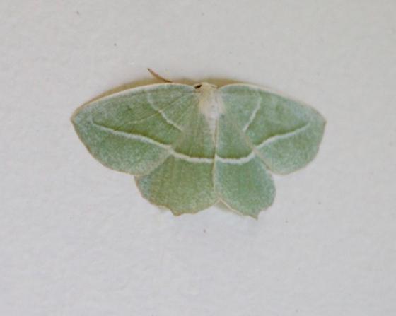 Green Moth - Campaea perlata