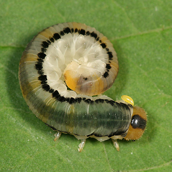 Sawfly larva with a mite - Dimorphopteryx