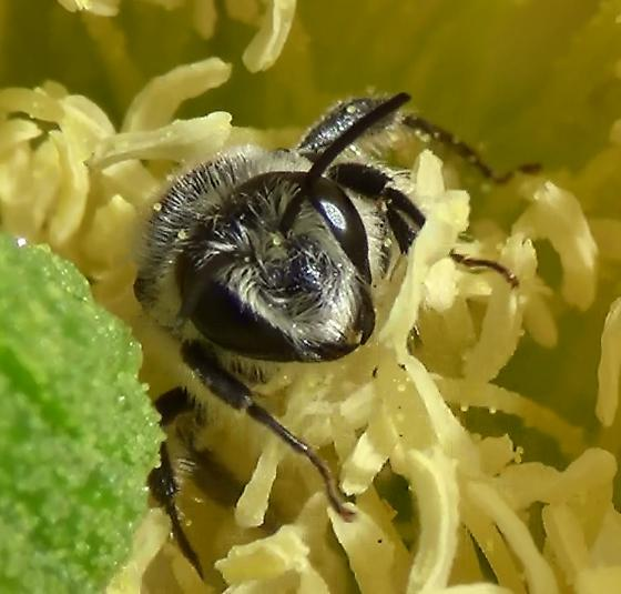 Small Mason Bee Face & Forearms - Lithurgopsis - male