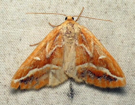 Caripeta angustiorata - Brown Pine Looper - Caripeta angustiorata - female