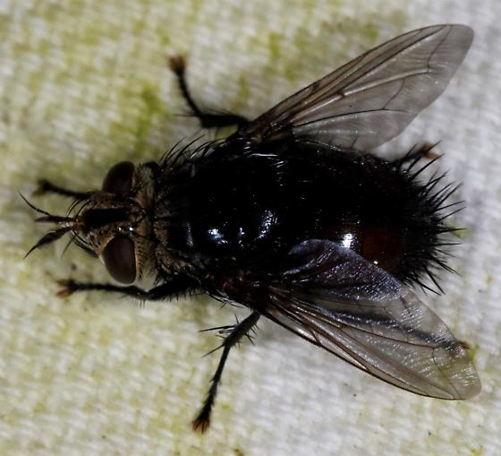 Fly - Archytas metallicus - male