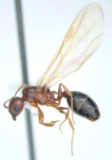 Ant  - Pheidole dentata