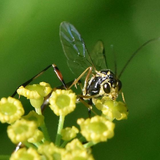 Wasp on Wild Parsnip - Eiphosoma