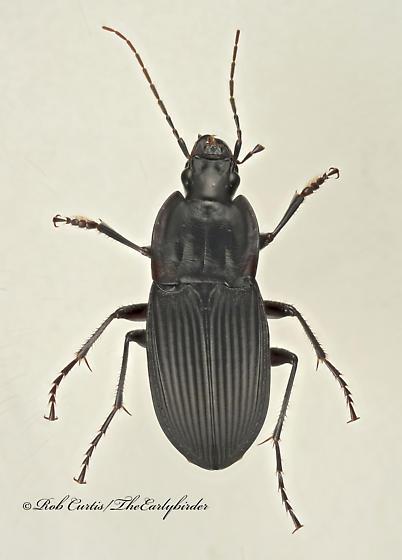 9017498 Dicaelus - Dicaelus elongatus