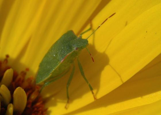 Big green bug - Thyanta pallidovirens