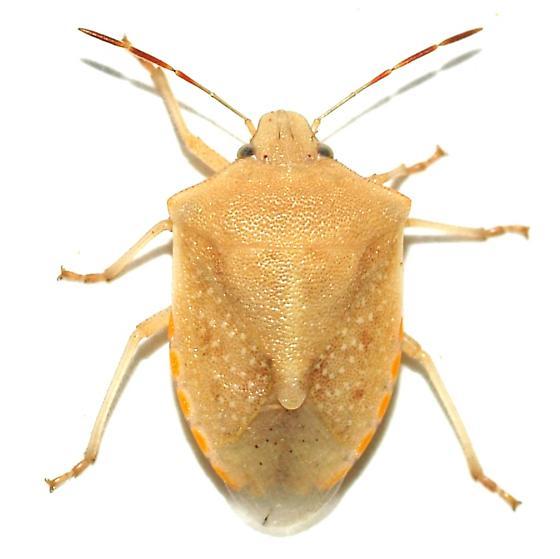 Pentatomidae - Thyanta custator