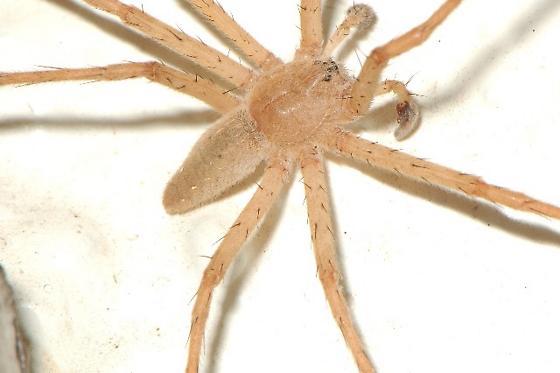 Very large spider - Pisaurina mira