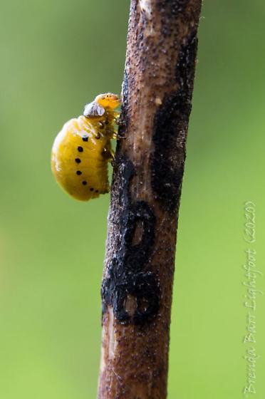Possible Milkweed Beetle Larvae