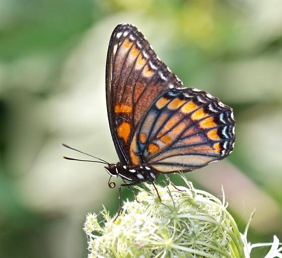 Rubidus Hybrid (Viceroy x Red-spotted Purple) - Limenitis