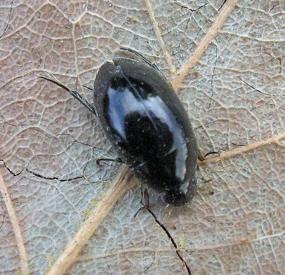 Beetle Pupae? - Tropisternus