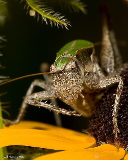 Green-backed form of Atlanticus monticola - Atlanticus monticola - male