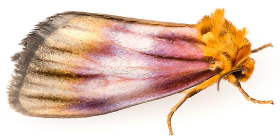 Eulithosia plesioglauca? - Eulithosia plesioglauca