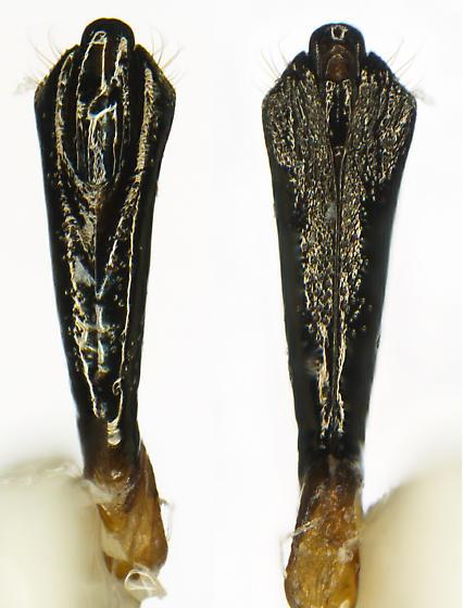 Agrilus abditus Horn - Agrilus abditus - male