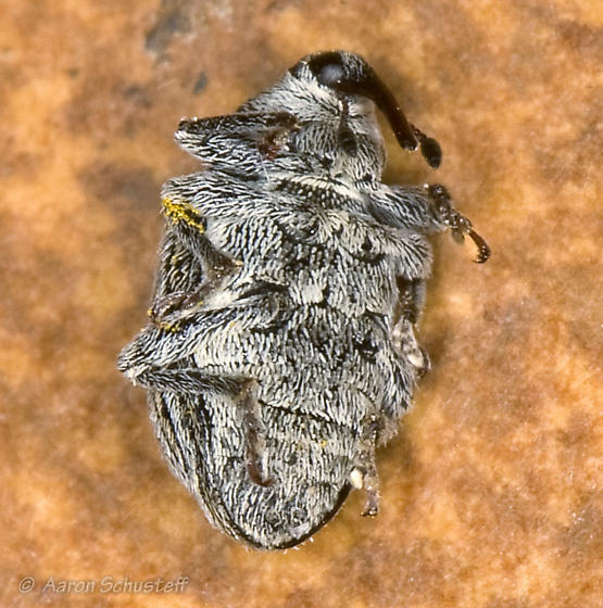 Ribbon-snouted, beige & white-lined weevil - Anthonomus