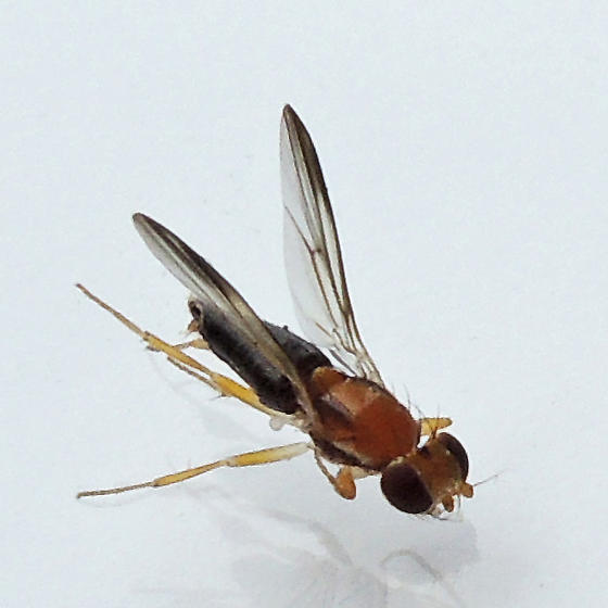 druid fly - Clusiodes