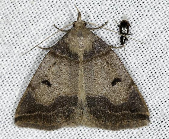 Zanclognatha - Zanclognatha laevigata