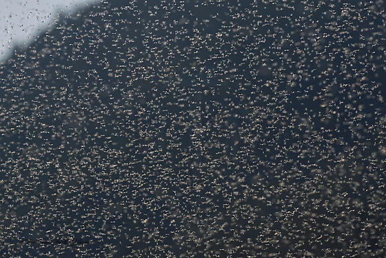 6036796 mayflies - Tricorythodes explicatus