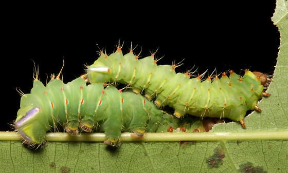 Polyphemus, 2 larvae - Antheraea polyphemus