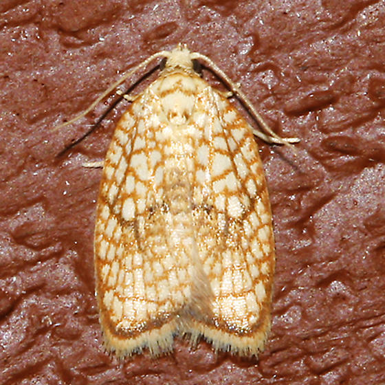 Maple Leaftier - Acleris forsskaleana