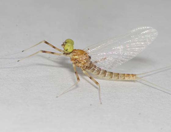Heptageniidae: Epeorus vitreus - Epeorus vitreus - male