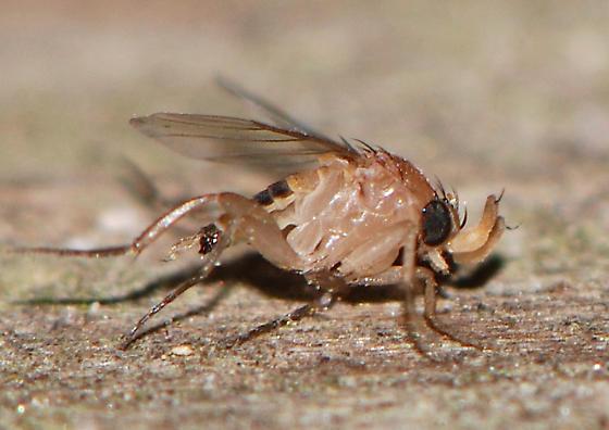 fly-phorid? - Apocephalus - male