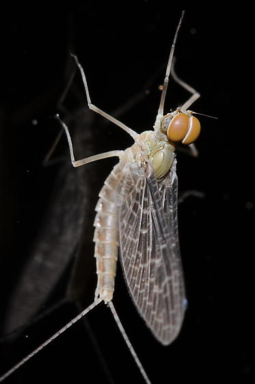 Mayfly - Callibaetis - male