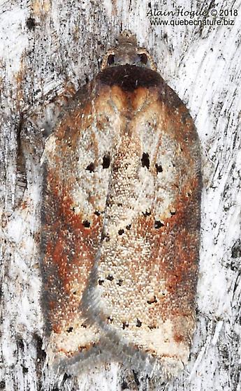 Acleris celiana - Acleris schalleriana