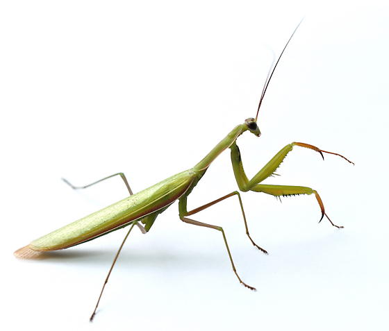 Mantis religiosa - male