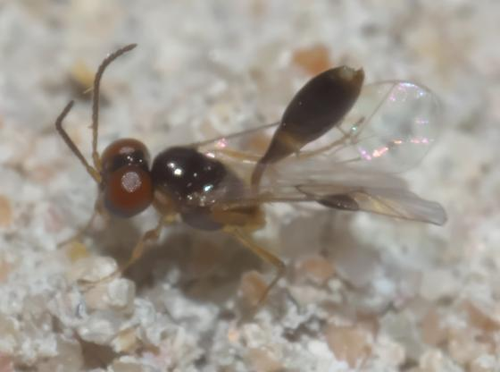 Very small wasp - Allophrys divaricata - male