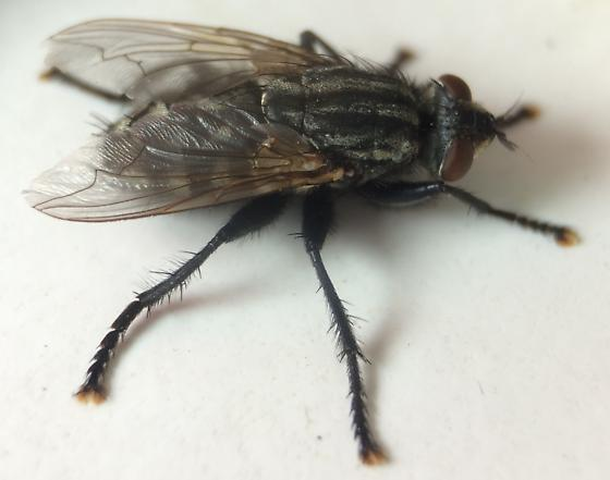 Fly - Sarcophaga johnsoni