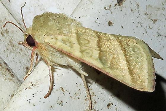 Tobacco Budworm Moth - Chloridea virescens