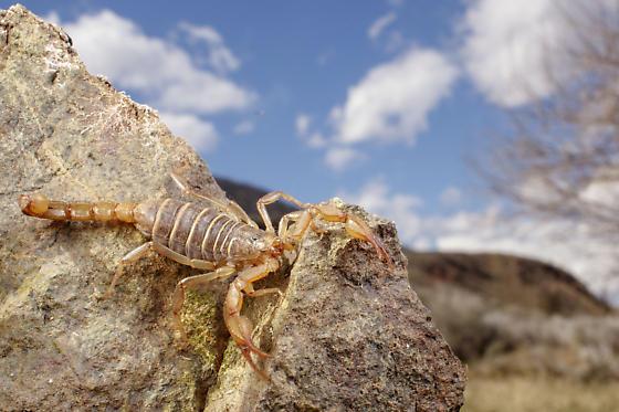 Osoyoos scorpion - Paruroctonus boreus