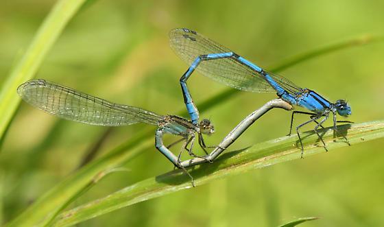 Marsh Bluets - Enallagma ebrium - male - female