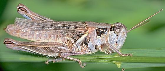 Grasshopper ~26mm - Melanoplus - female