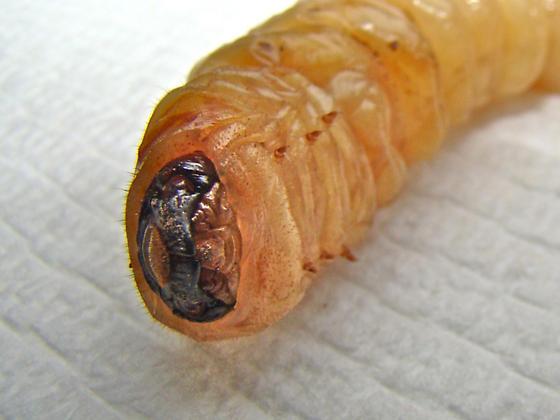 Longhorned Beetles (Cerambycidae) » Larvae & pupae