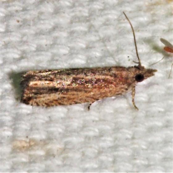 ID Request - Strepsicrates smithiana