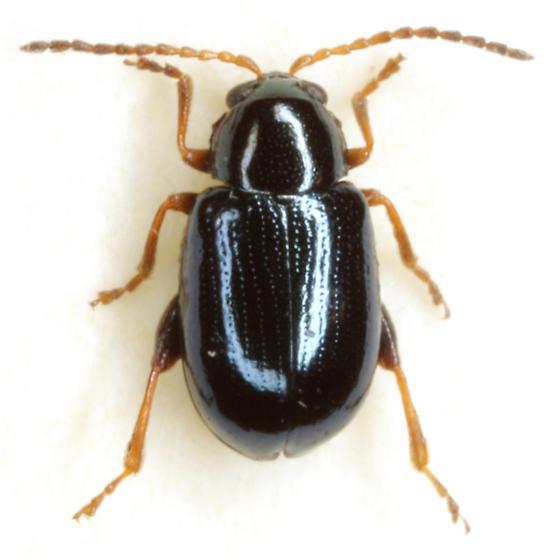 Glyptina nivalis Horn - Glyptina nivalis - female