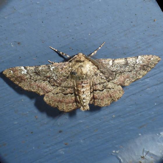 Geometrid - Phaeoura quernaria - male